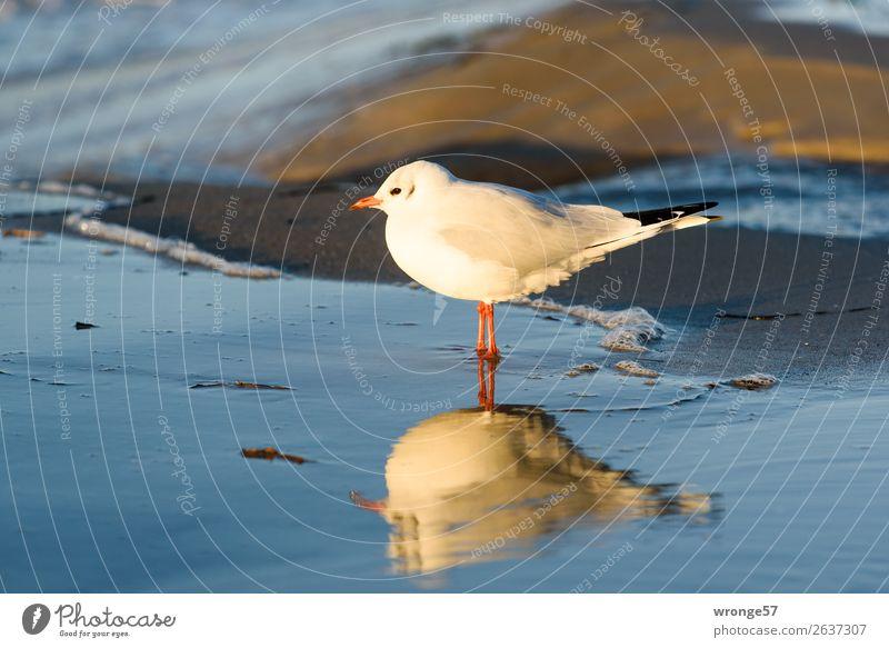 Möwe am Ostseestrand Natur blau schön Wasser weiß Meer Tier Strand Herbst Küste Vogel braun Sand Wildtier stehen Schönes Wetter