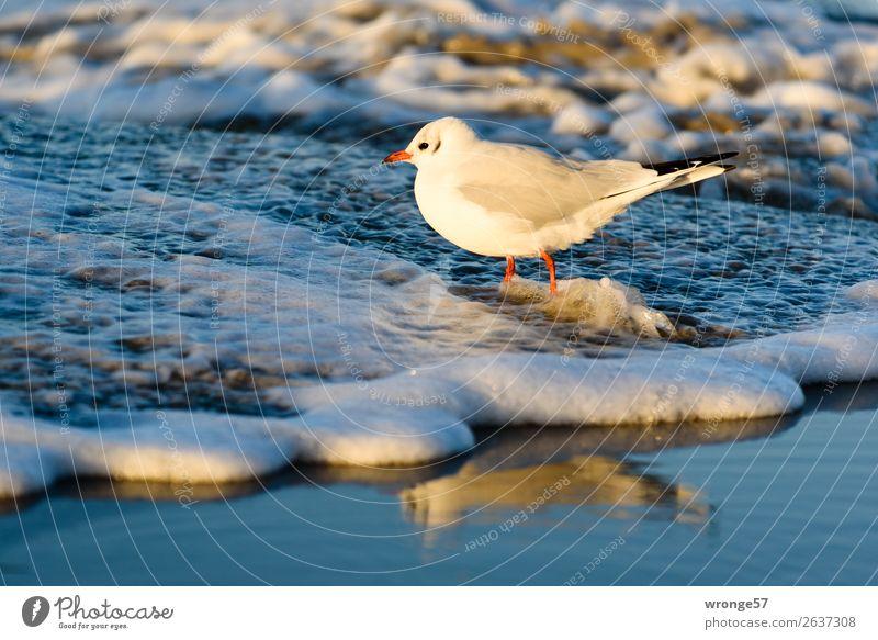 Möwe am Ostseestrand II Natur Tier Sand Wasser Herbst Schönes Wetter Strand Wildtier Vogel 1 stehen nass blau braun weiß Meer Küste Sandstrand Wellen Wellengang