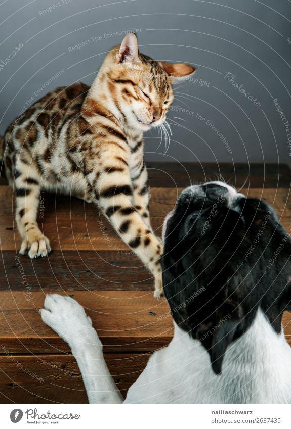 Cat & Dog Tier Haustier Hund Katze Boston Terrier bengal Katze 2 Tisch Holztisch Kommunizieren Konflikt & Streit Aggression frech listig lustig natürlich