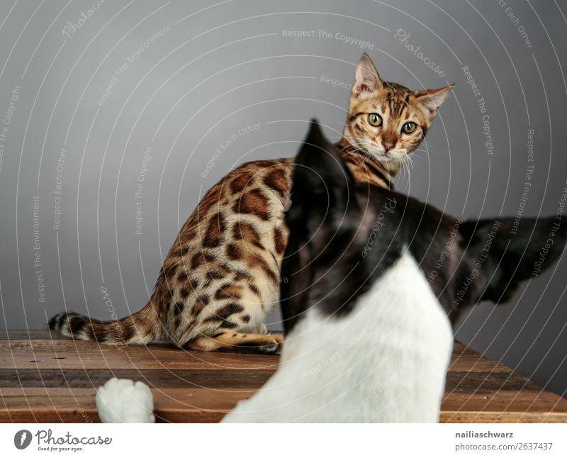 Cat & Dog Tier Haustier Hund Katze bengal Katze bengalische Katze Boston Terrier 2 beobachten Kommunizieren Konflikt & Streit warten frech Zusammensein Neugier
