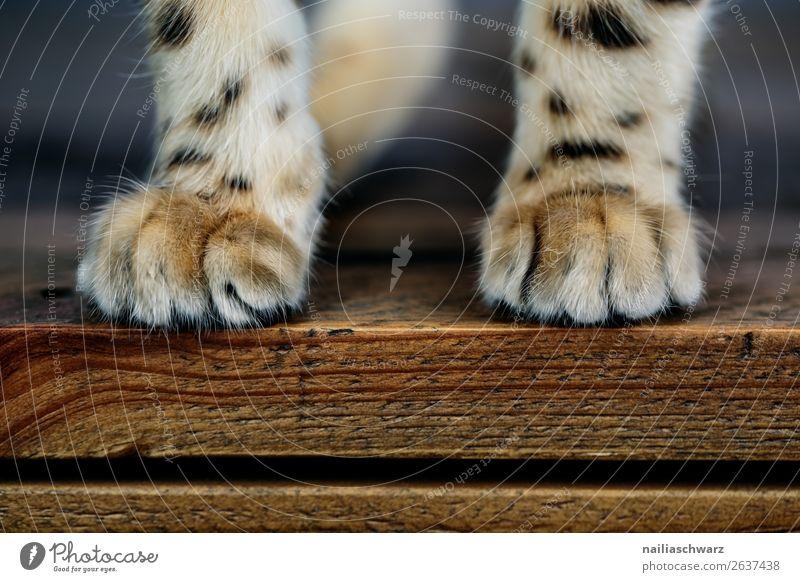 Samtpfoten elegant Wohnung Tier Haustier Katze Fell Krallen Pfote bengal Katze bengalische katze 1 Tierjunges Tisch Holz kuschlig natürlich niedlich schön weich