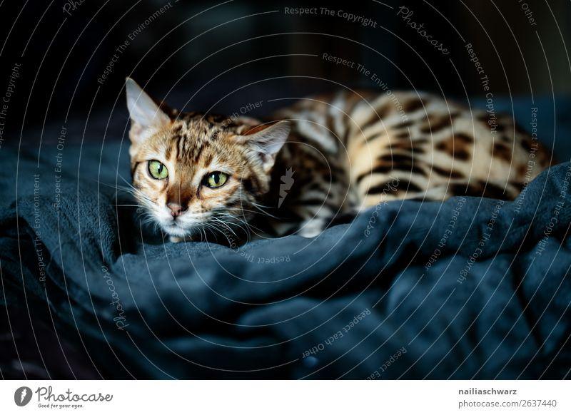 Katze Tier Haustier Tiergesicht 1 Tierjunges Decke beobachten entdecken liegen warten Aggression bedrohlich kuschlig listig Neugier niedlich weich blau grau