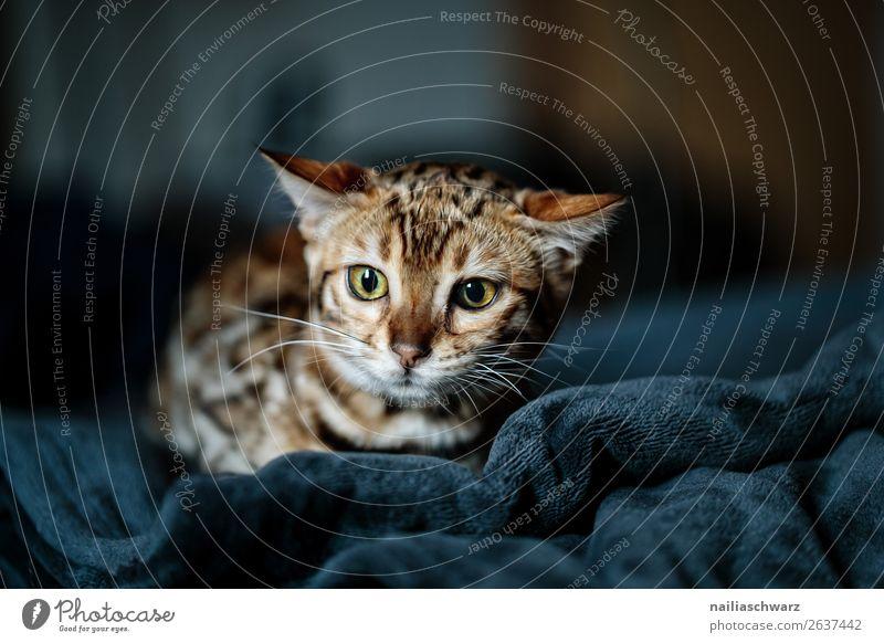 Bengal Katze Wohnung Bett Tier Haustier Tiergesicht Bengal katze 1 Tierjunges Decke beobachten entdecken liegen Blick Aggression bedrohlich klein lustig Neugier