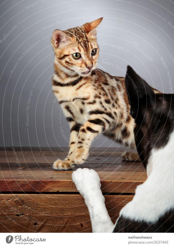 Cat&Dog Tier Haustier Hund Katze Tiergesicht Boston Terrier Bengal Katze bengalische Katze 2 Tisch Holztisch beobachten kämpfen Kommunizieren Blick frech