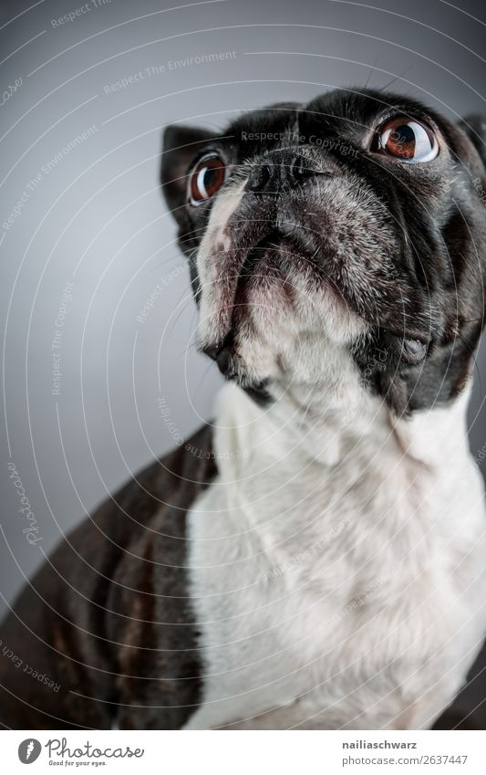 Boston Terrier Hund schön weiß Tier schwarz Traurigkeit lustig Zufriedenheit elegant sitzen Fröhlichkeit niedlich beobachten Coolness Neugier entdecken