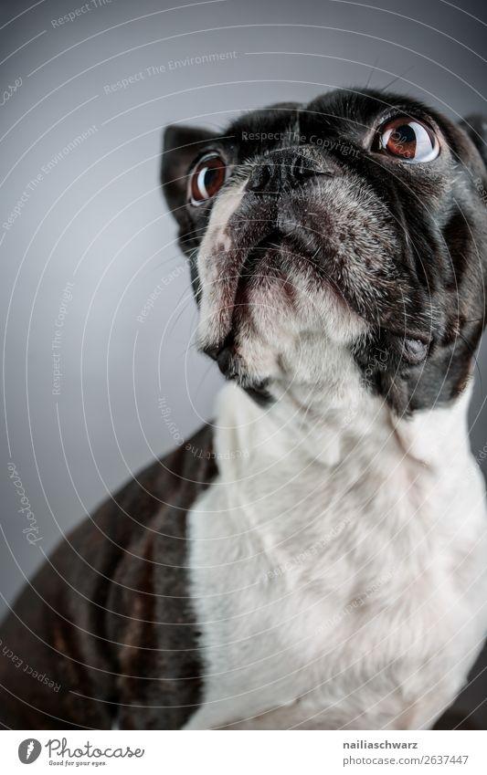 Boston Terrier Tier Haustier Hund Tiergesicht Französische Bulldogge 1 beobachten entdecken Blick sitzen elegant frech schön lustig Neugier niedlich schwarz
