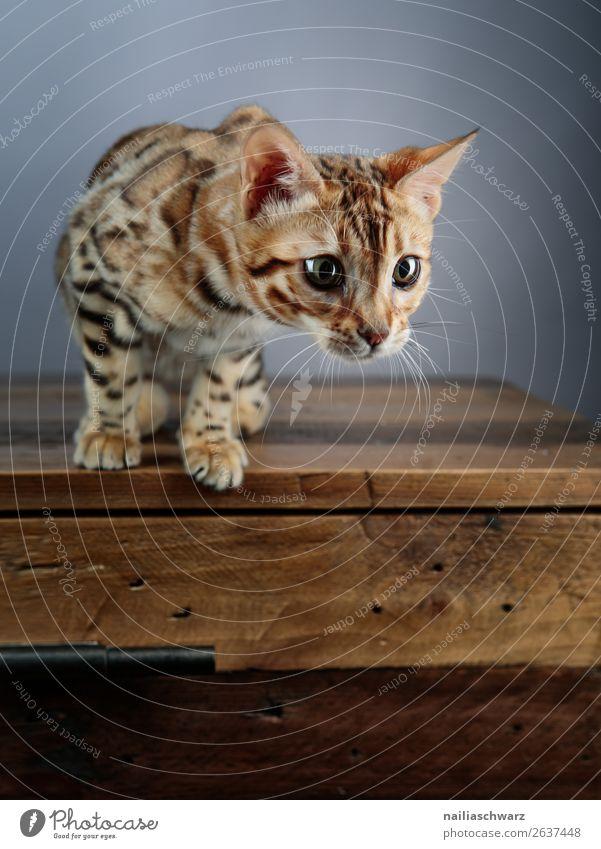 Bengalkatze Tier Katze 1 Tierjunges Tisch Holztisch beobachten entdecken Blick warten elegant frech Freundlichkeit Fröhlichkeit natürlich Neugier niedlich schön