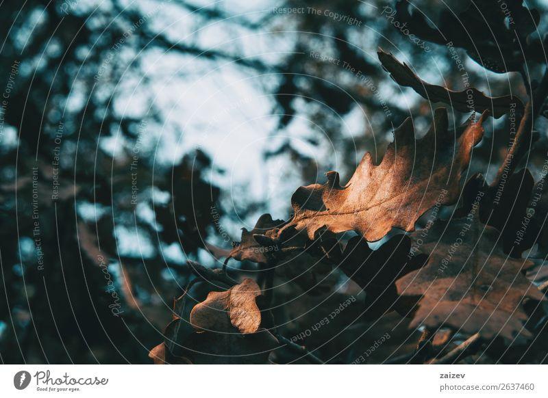 Nahaufnahme eines isolierten Eichenblattes, das von einem Sonnenstrahl beleuchtet wird schön Winter Garten Dekoration & Verzierung Tapete Natur Erde Himmel