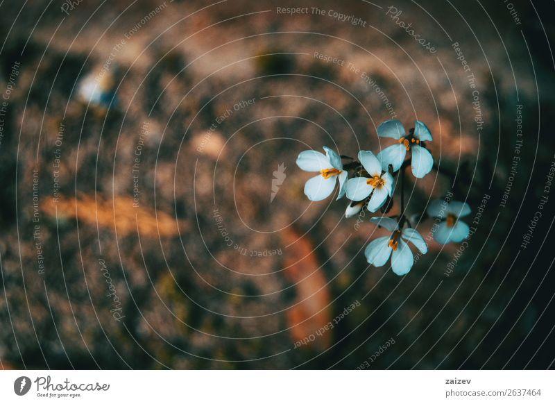 Nahaufnahme von kleinen weissen isolierten Blüten von Arabis alpina in der Natur Kräuter & Gewürze schön Sommer Garten Pflanze Frühling Blume Sträucher Blatt