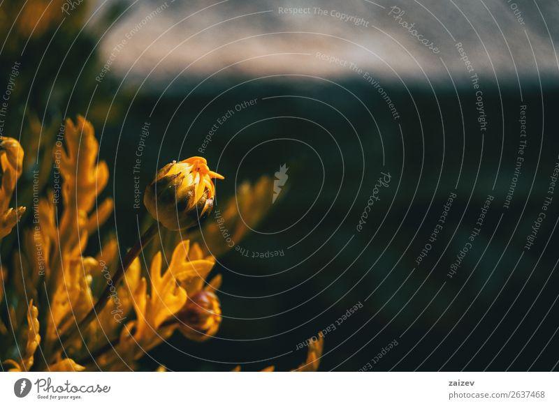 Nahaufnahme einer ungeöffneten Blüte der gelben Argyranthemum frutescens in der Natur Freude Glück schön Sommer Garten Pflanze Blume Blatt frisch hell natürlich