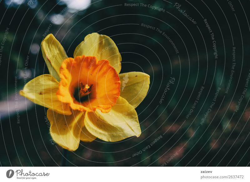 Nahaufnahme einer gelben Narzissen-Dubius-Blüte in der Natur Sommer Garten Ostern Pflanze Frühling Blume Park frisch hell natürlich wild grün Farbe