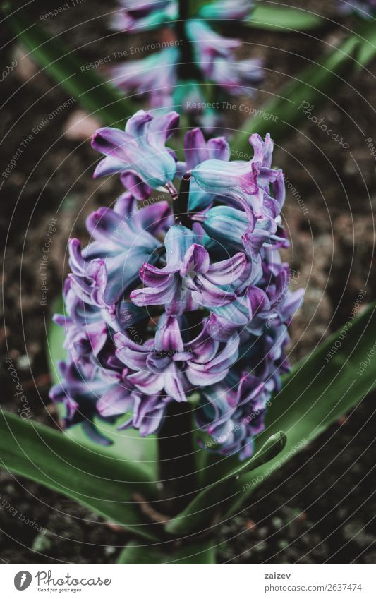 Nahaufnahme eines Blütenstandes mit blauen und lilafarbenen Blüten einer Hyazinthus orientalis schön Sommer Garten Dekoration & Verzierung Gartenarbeit Natur