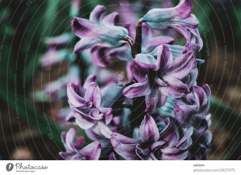 Nahaufnahme eines Blütenstands von blauen und lila Blütenständen schön Sommer Garten Dekoration & Verzierung Gartenarbeit Natur Pflanze Frühling Blume Blatt