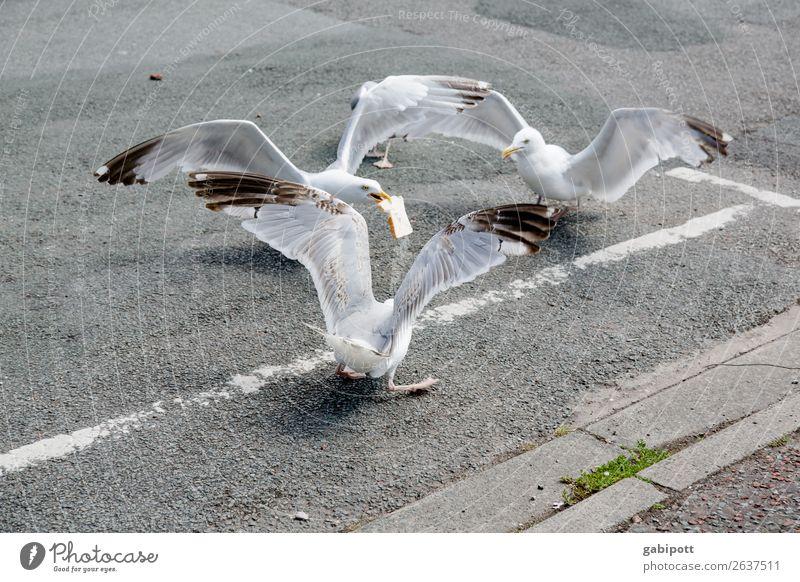 meins meins meins Stadt Straße Straßenkreuzung Tier Vogel Möwe 3 Tiergruppe sprechen Fressen Jagd kämpfen trist Appetit & Hunger Wales Futterneid Greifvogel