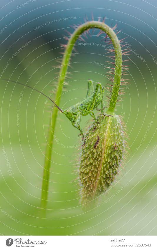 Verwandlung | der Hüpfer wartet schon Umwelt Natur Pflanze Tier Sommer Klima Blume Blüte Wildpflanze Blütenknospen Klatschmohn Feld Insekt Heuschrecke