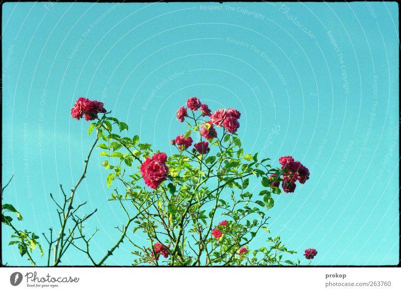 Knallhartes Farbfestival Himmel Natur schön Pflanze Sommer Blume Farbe Umwelt Gefühle Frühling Stimmung Wetter elegant ästhetisch authentisch Rose