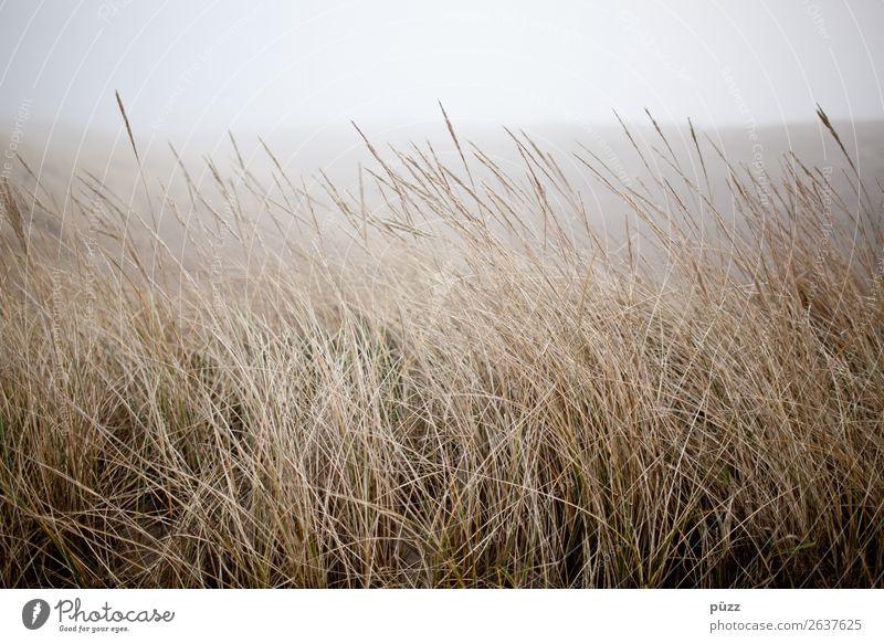 Gras Sommer Strand Meer Insel Umwelt Natur Landschaft Pflanze Himmel Wetter schlechtes Wetter Wind Nebel Küste Nordsee Ostsee Sylt Stranddüne Dünengras maritim