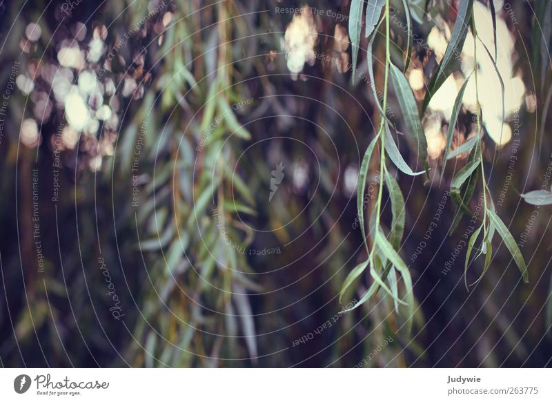 Der Wind in den Weiden Umwelt Natur Pflanze Sonnenlicht Sommer Baum Blatt Trauerweide einfach lang natürlich grün Wachstum ruhig hängen Unschärfe Farbfoto