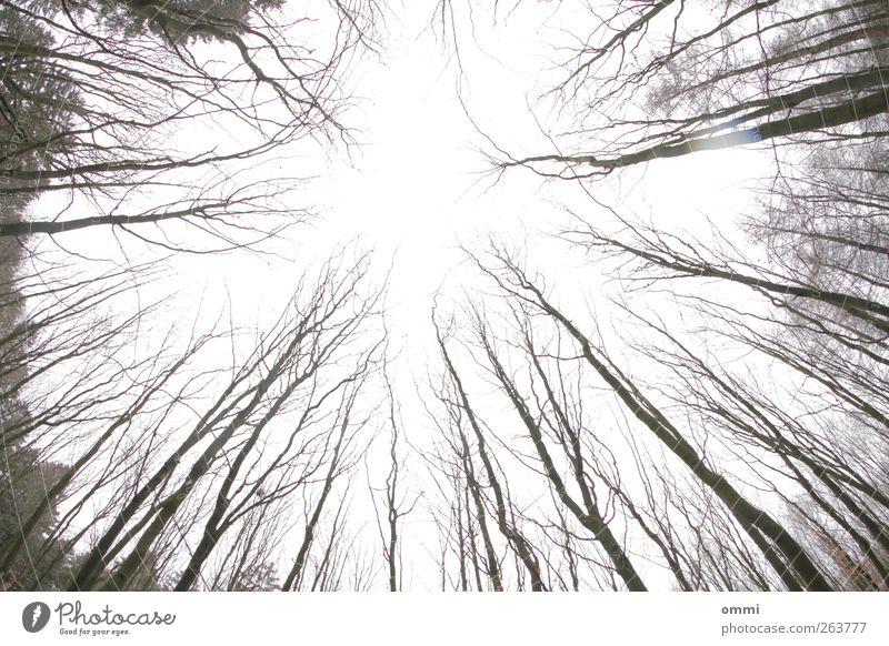 Bestürzt Himmel Baum Wald hell hoch kalt Ast Baumstamm laublos kahl Außenaufnahme Menschenleer Textfreiraum Mitte Tag Silhouette Weitwinkel Fischauge