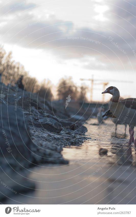 abendstimmung Umwelt Natur Tier Luft Wasser Himmel Wolken Sonnenaufgang Sonnenuntergang Küste Flussufer Wildtier Gans 1 Gefühle Zufriedenheit Tierliebe schön