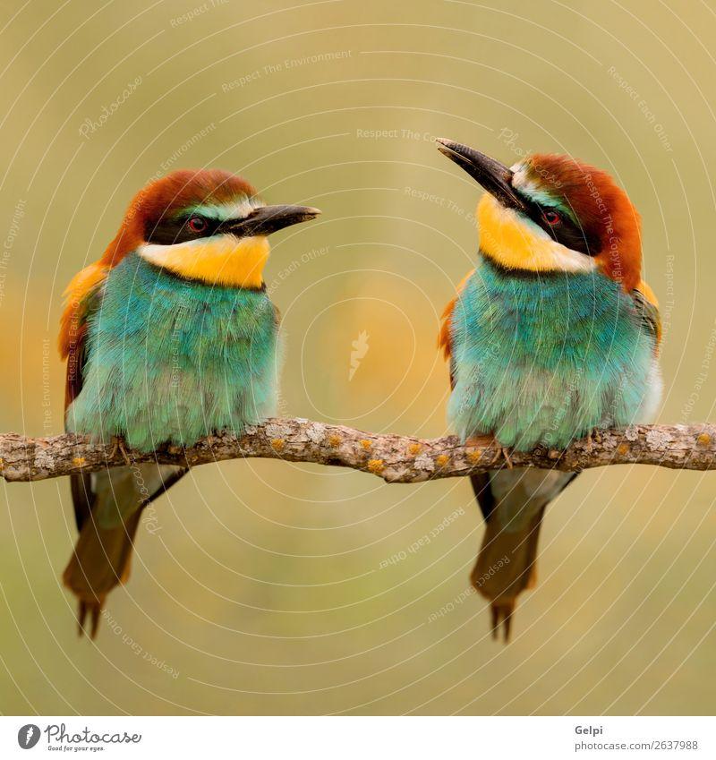 Ein Paar Bienenfresser. exotisch schön Freiheit Umwelt Natur Tier Park Vogel Liebe klein wild blau gelb grün rot Farbe Zusammenhalt Tierwelt farbenfroh Esser
