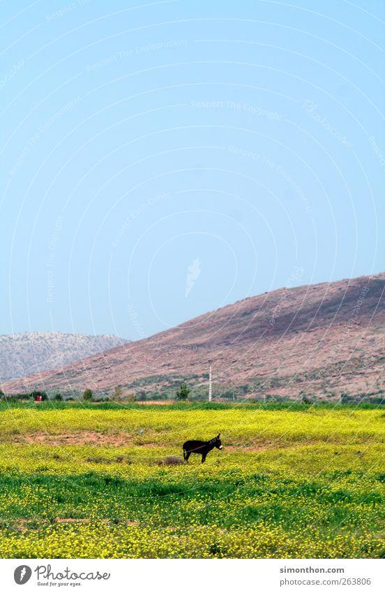 esel Nutztier füttern Esel Weide Natur Marokko Afrika Ödland Einsamkeit Reisefotografie Farbfoto