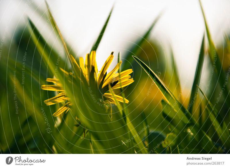 Des Löwen Zähne Natur grün Pflanze gelb Erholung Umwelt Landschaft Wiese Gras Frühling Zufriedenheit natürlich frei Spitze einfach Idylle