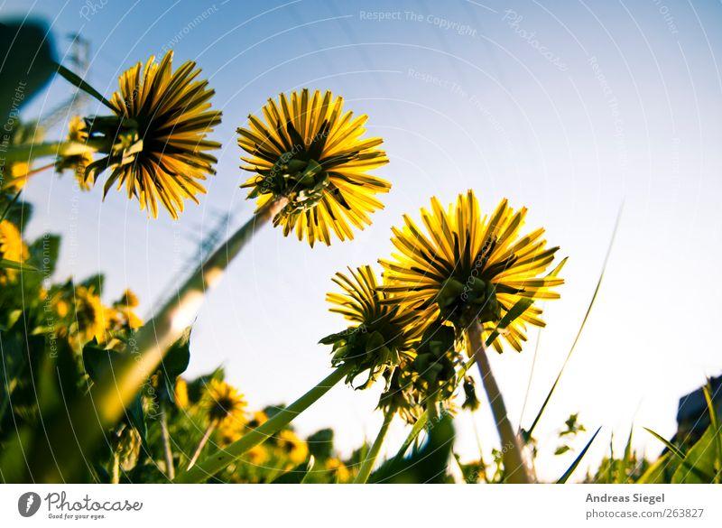 Und wenn der Schirm sich nicht öffnet... Natur grün Pflanze Blatt ruhig gelb Erholung Umwelt Landschaft Wiese Gras Frühling Blüte Zufriedenheit Kraft groß