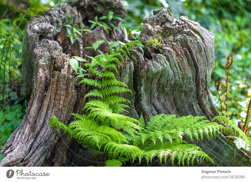 Baum mit Efeu Natur Landschaft Pflanze Erde Frühling Sommer Herbst Klimawandel Wetter Schönes Wetter Moos Farn Grünpflanze Wildpflanze Garten Park Wald