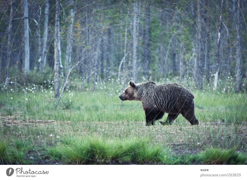 Bruno Natur Landschaft Tier Wald Umwelt Wiese braun Angst Kraft wild Wildtier bedrohlich beobachten Neugier Fell stark