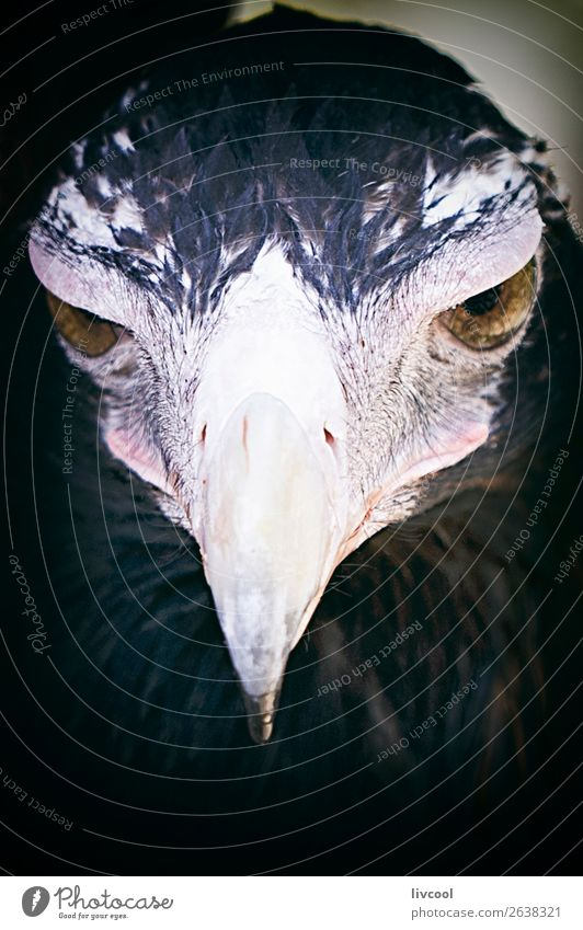 das Aussehen des Adlers, Brisbane. Ferien & Urlaub & Reisen Ausflug Abenteuer Ausstellung Natur Tier Handschuhe Wildtier Vogel 1 dunkel niedlich wild ruhig