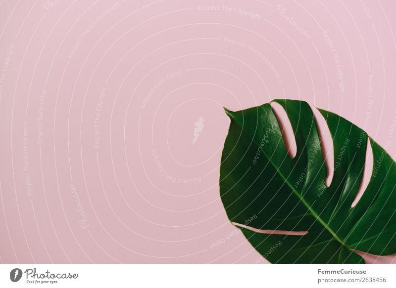 Leaf of a monstera plant on a pink background Natur Kreativität Strukturen & Formen Design rosa grün Fensterblätter Pflanze Pflanzenteile Papier Schreibwaren