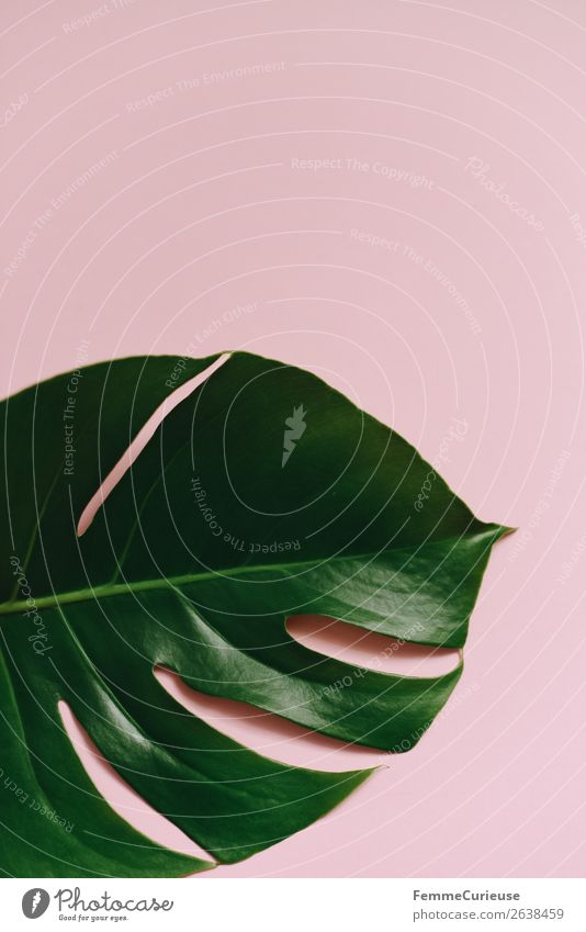 Leaf of a monstera plant on a pink background Natur Design Symmetrie Strukturen & Formen rosa grün Fensterblätter ästhetisch Pflanze Pflanzenteile Grünpflanze