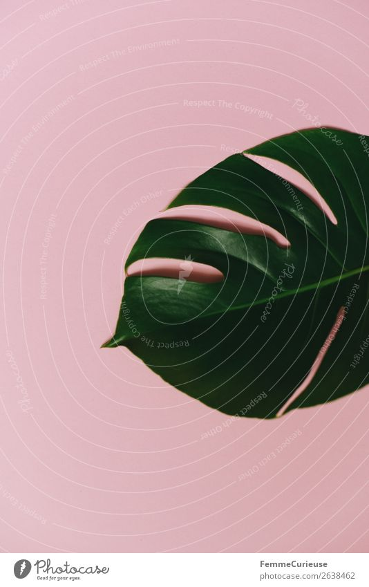 Leaf of a monstera plant on a pink background Natur Pflanze grün rosa Design Dekoration & Verzierung Kreativität Grünpflanze Pflanzenteile Fensterblätter