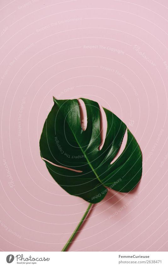 Stem and leaf of a monstera plant on a pink background Natur Pflanze grün Lifestyle rosa Design modern Kreativität Papier Schreibwaren Grünpflanze Pflanzenteile