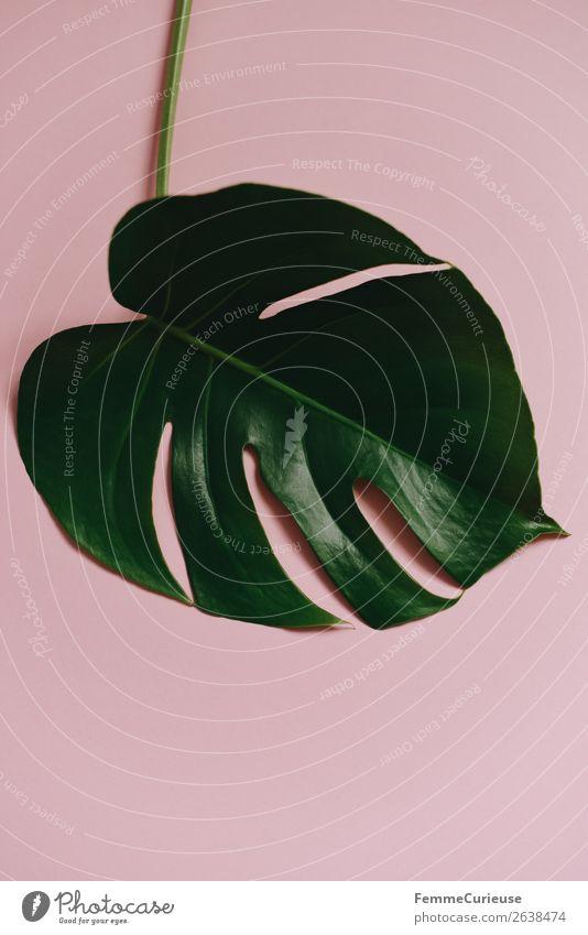 Stem and leaf of a monstera plant on a pink background Natur Pflanze Blatt rosa Dekoration & Verzierung ästhetisch Stengel Pastellton Pflanzenteile