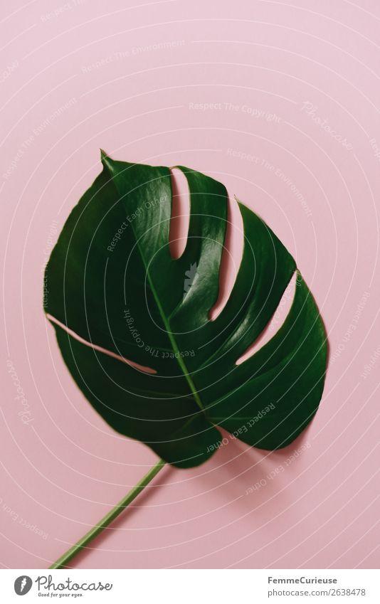 Leaf of a monstera plant on a pink background Pflanze grün Blatt rosa Design ästhetisch Kreativität Papier Schreibwaren Grünpflanze Pflanzenteile Fensterblätter