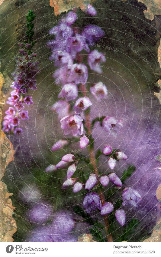 Heidekraut Erika Natur Pflanze Frühling Herbst Blume Blüte Wildpflanze Feld Wald Alpen Berge u. Gebirge Freundlichkeit natürlich blau violett rosa Romantik