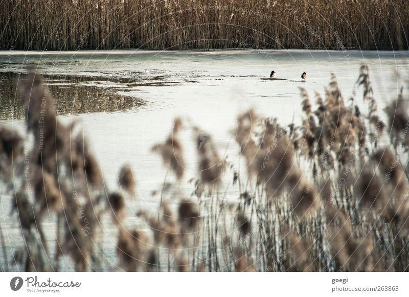 Schilfmoor Natur Wasser weiß Pflanze Winter Tier Umwelt Landschaft Eis braun Wildtier Tierpaar Schönes Wetter gefroren Schilfrohr Ente