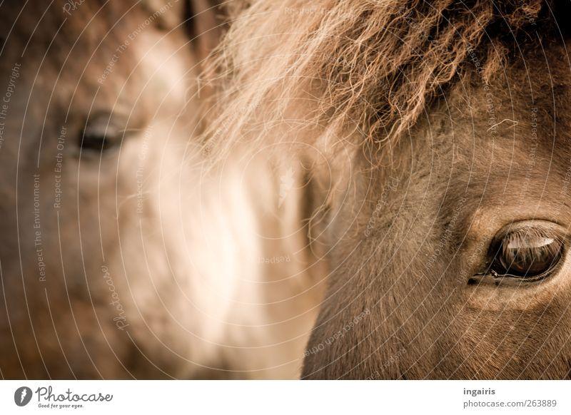 Islandpferde Natur weiß Erholung Freude Tier Glück natürlich Stimmung braun Zusammensein Zufriedenheit authentisch beobachten Freundlichkeit Pferd Vertrauen