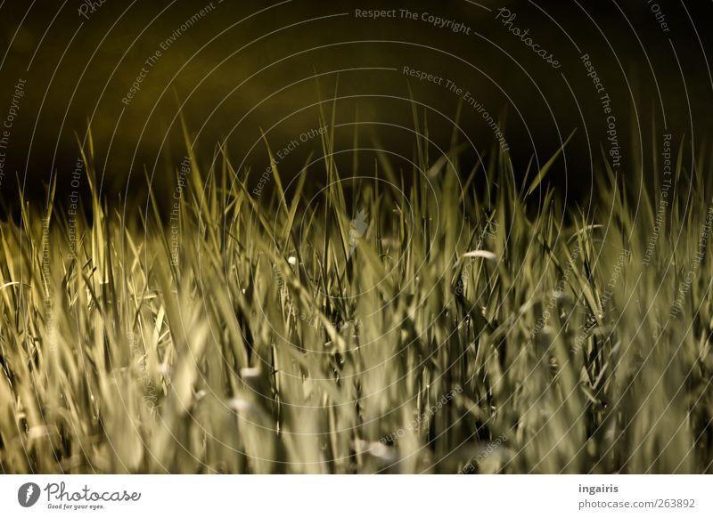 Das kommende Grün Natur grün Pflanze schwarz ruhig Umwelt Landschaft Wiese Gras Frühling Stimmung Feld glänzend Klima natürlich Wachstum