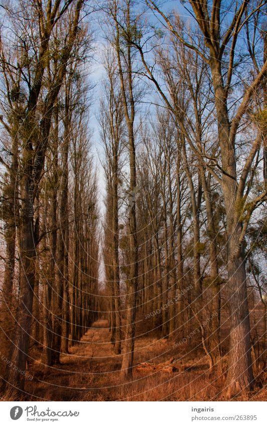 Aufgereihte Pappeln Himmel Natur blau grün Baum Pflanze Winter Blatt Einsamkeit ruhig Wald Erholung Landschaft Herbst Gras Stimmung
