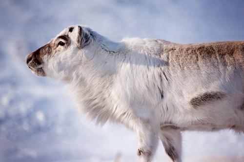Natur weiß Winter Tier Schnee wild natürlich Insel Säugetier Hirsche Norwegen Finnland Skandinavien extrem Norden Rentier
