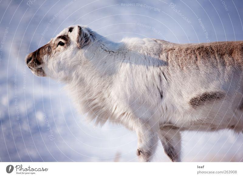 Rentiere Insel Winter Schnee Natur Tier natürlich wild weiß Spitzbergen Norwegen schließen nach oben nördlich extrem Voraussetzung Arktis Hirsche Hirschkuh