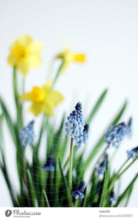Frühlingsanfang Natur blau Pflanze grün Blume gelb Blüte Blühend Blütenblatt Frühlingsblume Narzissen Hyazinthe Gelbe Narzisse Traubenhyazinthe