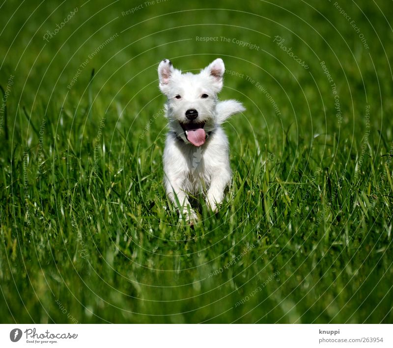 Frostie II Hund Natur weiß grün Sommer Tier Wiese Bewegung Gras Tierjunges Gesundheit wild laufen rennen niedlich Ohr