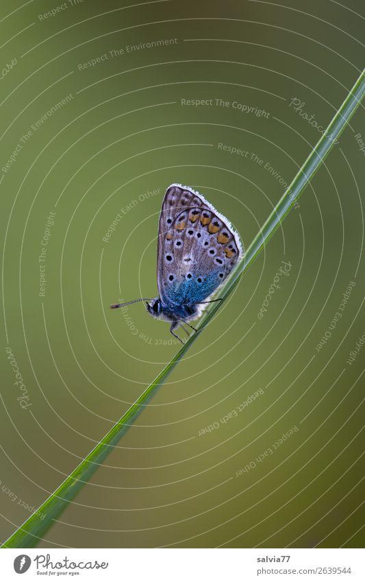 Schräglage Natur Sommer Pflanze Blatt Halm Wiese Tier Schmetterling Flügel Insekt Bläulinge 1 klein grün Erholung Leichtigkeit Pause Neigung zart einfach