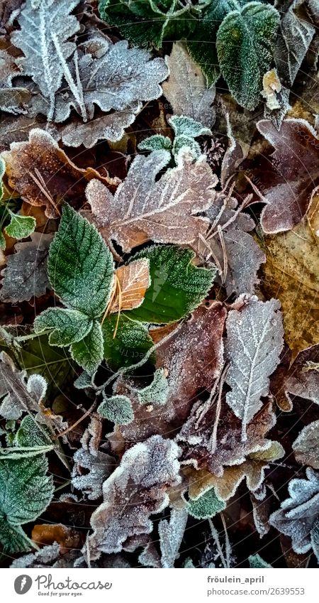 Winter is coming Natur grün Blatt Herbst kalt braun Klima Eiskristall Raureif