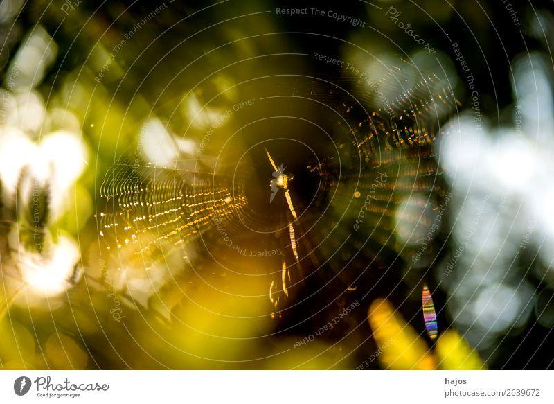 Spinnennetz im Herbst im Gegenlicht Internet Tier gold grün weiß Rundfahrt Großstadt Radsspinne gelb leu Polen Fauna Farbfoto Außenaufnahme Menschenleer