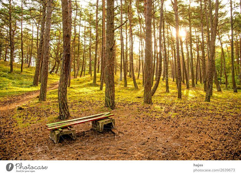 Kiefernwald an der Ostsee mit Bank Natur Blume Küste hell Wald Waldkiefern grün Polen Gegenli sonnig Herbst Farbfoto Außenaufnahme Menschenleer